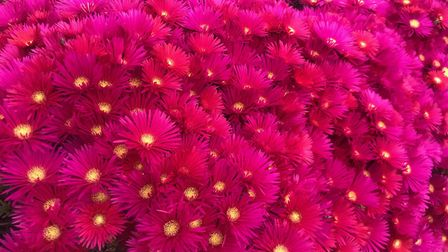 Colourful red-pink flowers and a bright yellow centre