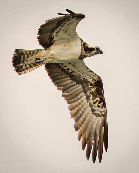 The osprey at Panshanger Park . Picture Allan Burrows