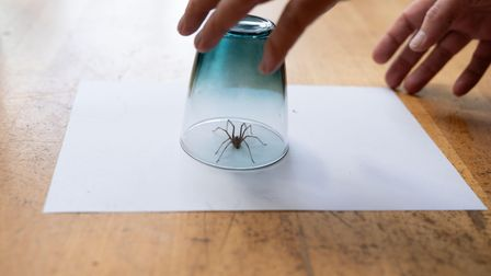 It's spider mating time so you will probably see many more of them in your home.