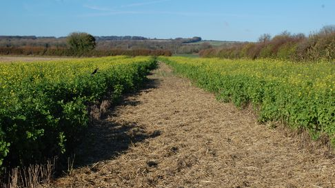 Cover crop grown by a gamekeeper; cover benefits game birds but also smaller, threatened farm and garden birds