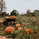 Pumpkins in a wheelbarrow and on the ground ready for pumpkin picking this halloween
