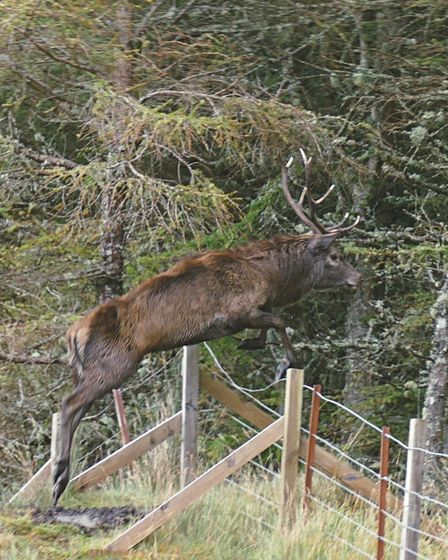 A red stag jumping a deer fence into forestry