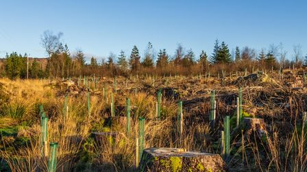 Replanting an old deforested and clear felled coniferous forest with broadleaf trees