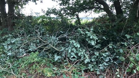 Branches from the oak trees have been cut and discarded on Mill Lane in Horsford