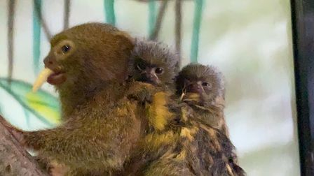 The baby pygmy marmoset weighed only 14 grams at birth.Paradise Wildlife Park, Hertfordshire.