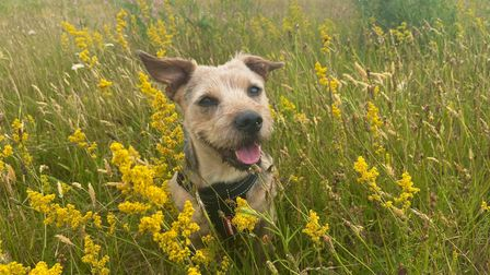 Gavin is a Yorkie-cross who has already been attacked once before