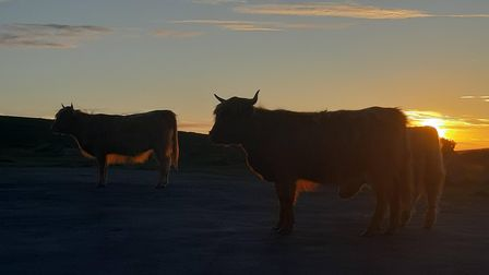 Long-horned cattle in the car park at sunset.