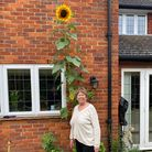 Jean Ellis from Letchworth with her 12-foot tall sunflower