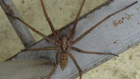 a VERY large house spider.