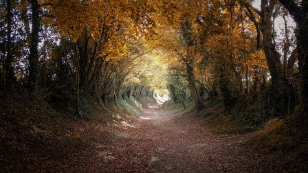 Halnaker tree tunnel on the old Roman road of Stane Street, West Sussex.