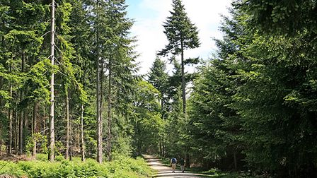 Conifers in Wilverley Inclosure, New forest, Hampshire