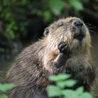 The Norfolk Rivers Trust has released a pair of beavers into a chalk stream headwater in north Norfolk.