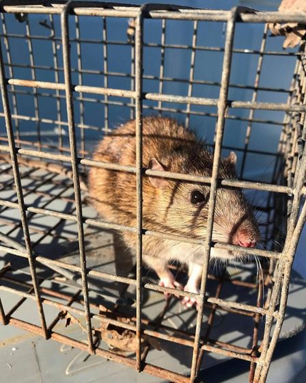 This rat was caught in a house in Norwich.