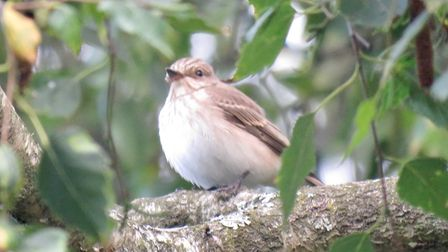 A spotted flycatcher (Muscicapa striata) in Rupert Evershed's garden.