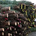 A stack of Christmas trees - which will be in short supply this year