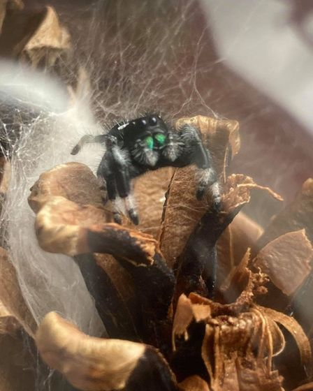 Ruchi is a Regal jumping spider who lives in Costessey with Jourdan Madge and her family.