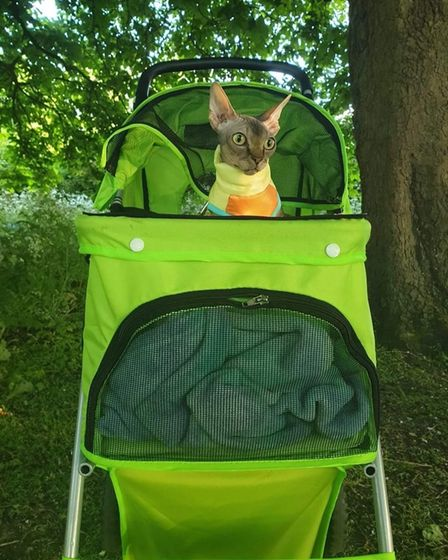 Spock the sphynx cat in his buggy.