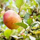 Apple in traditional orchard