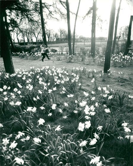 Daffodils at Eaton Park in Norwich in 1994