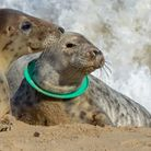 Pictured is one of three seals along the Norfolk coast with their heads stuck in a plastic ring whi