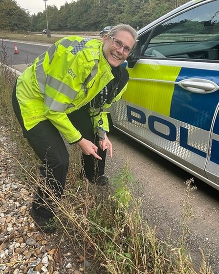 Officers from Suffolk police have found cannabis growing by the side of the A14 near Ipswich