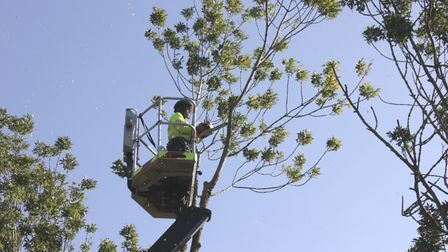 Devon County Council officer tackle Ash dieback infected trees