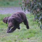 Spaniel puppy running towards the camera in a grass field