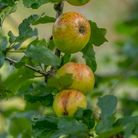 Apples in the orchard at Rosemoor RHS Apple festival in Devon.