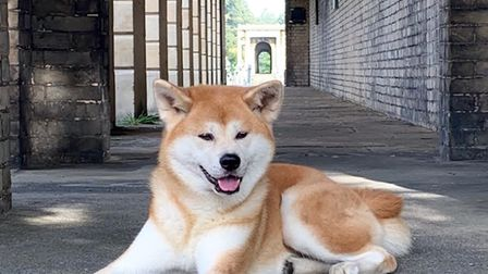 Kin,a seven-year-old Japanese Akita, had training for the part.