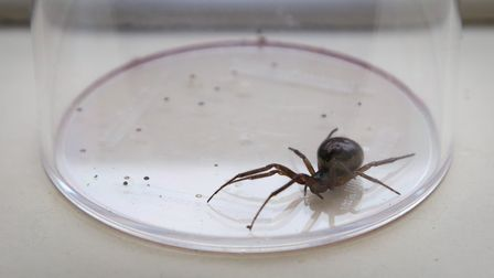 A general view of a False Widow Spider in a zoo.