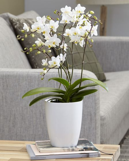 Phalaenopsis White Willd Orchid to plant in autumn from RHS garden centre.