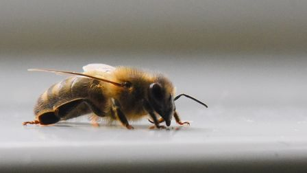 One of the bees on the window sill from their nest in Tara Skyring's bathroom vent. Picture: DENISE