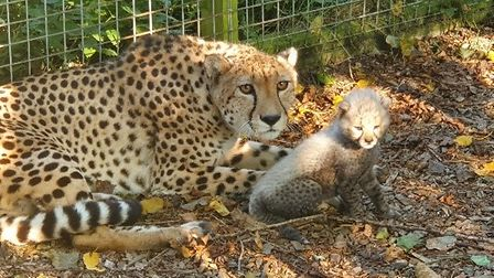 Mother cheetah Kilima and baby at Africa Alive near Kessingland, Suffolk