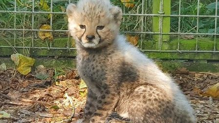 Africa Alive have welcomed the birth of a newcheetah cub. Pictured is the cub with its motherKilima.