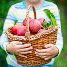 Beautiful blond happy kid boy picking and eating red apples on organic farm, autumn outdoors. Funny