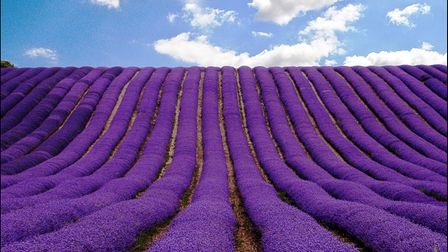 The Herts in Focus exhibition includesMary Patrick's picture'Lavender Velvet' atHitchin Lavender, Ickleford