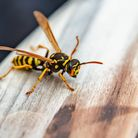 How to get rid of wasp infestation advice from Inoculand Pest Control Services in Central London