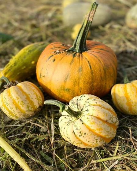 Pumpkins and squash in the grass at Lower Ladysden Farm