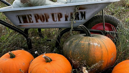 Pumpkins being loaded into a wheel barrow at The Pop Up Farm