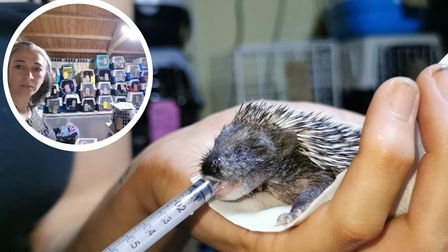 Hallswood Animal Sanctuary is inundated with hedgehogs