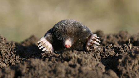 the war on moles begins. Pic Getty Images
