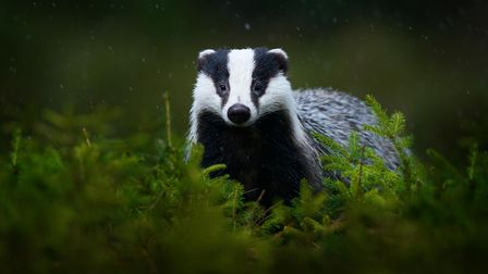 Around 25% of the European badger population is found in the UK