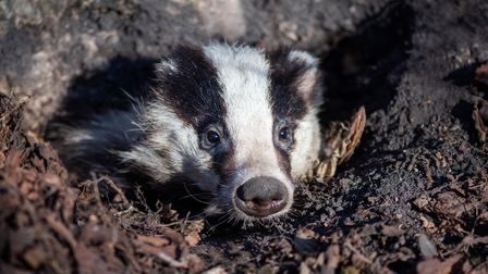 Badger looks out of the hole, animal in nature habitat. Wild animal in the wood. Mammal in environme