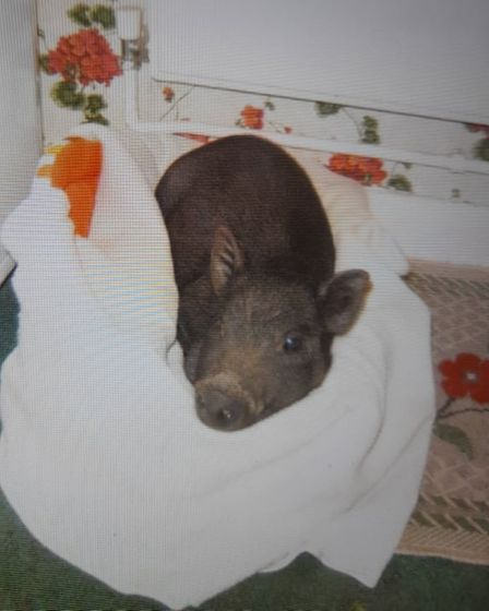 Miss Wiggy was tiny when she first arrived at Julie house.