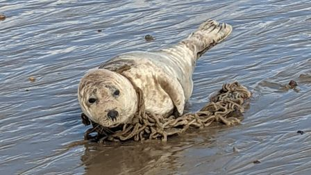 Friends of Horsey Seals rescue seal Monday evening