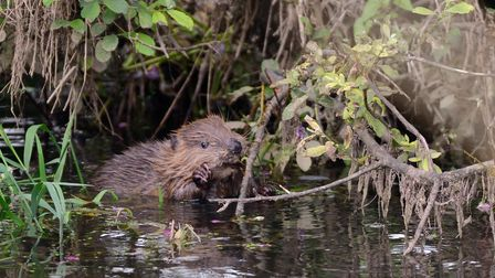 Young Eurasian beaver kit holding and nibbling a willow twig.