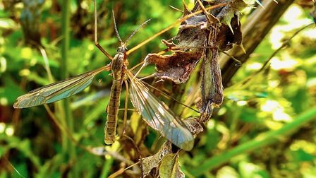 Gerry Brown sent us his image of a Cranefly, more commonly known as a Daddy Long Legs.