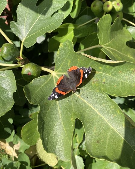 Dorothy Smith captured this butterfly on a leaf in St Ives.