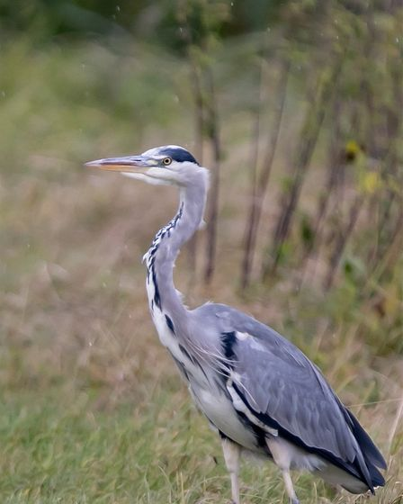 James Sinclair sent us his image of a heron which he took at Houghton.