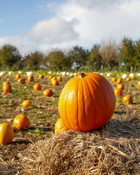 A large orange pumpkin on a straw bale with a field of cut pumpkins behind